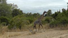 Giraffe walking, moving ears and tail – tracking shot Stock Footage