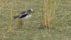 White-crowned lapwing walks across a meadow, stops and picks up an insect Stock Footage