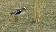Stock Video Footage of White-crowned lapwing walks across a meadow, stops and picks up an insect