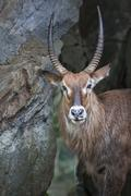 Portrait of an antelope, West Java, Indonesia Stock Photos