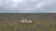 ICELAND Rettir sheep Schaf roadkill Stock Footage