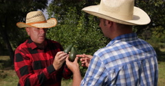 Farmland Workers Activity Green Avocado Production Analyze Fruit Presentation Stock Footage