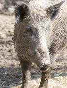 Wild boar in the zoo Stock Photos