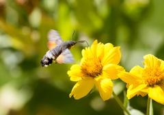Sphingidae, known as bee Hawk-moth, enjoying the nectar of a yellow flower. H Stock Photos