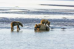 Mother Bear and Cubs on a Tidal Flat - stock photo