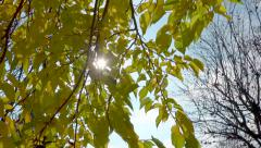 Autumn : Yellow foliage VS nude branches - sunny day, blue sky - stock footage