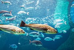 Big silver fishes swimming in aquarium, blue water and reflections visible in up - stock photo