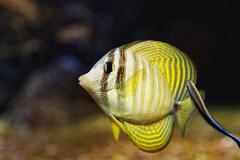 The sailfin tang (Zebrasoma veliferum) is a marine reef tang, fish family Acanth Stock Photos