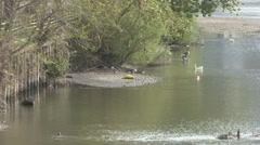 Ducks in the river Entellak Stock Footage