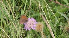 Ringlet (Aphantopus hyperantus) Butterfly  Stock Footage