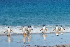 Gentoo Penguins Coming Ashore Stock Photos