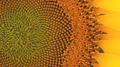 Closeup shot of Yellow sunflower in garden Stock Footage