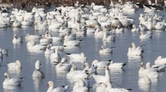 Ross's Geese Chen rossii - stock footage