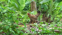 Chicks walking follow to hen, living with nature Stock Footage