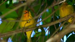 Tropical yellow birds Stock Footage