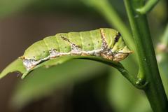 Green caterpillar eating green leaf Stock Photos