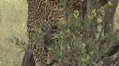 African Leopard climb gown tree on the ground Stock Footage