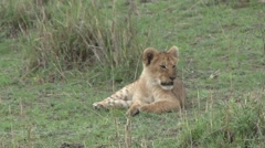 African Lion baby laying in grass Stock Footage