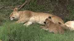 African Lion female suckle babies. Stock Footage