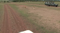 African Lion female walk in front of safari vehicle 2 Stock Footage