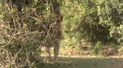 African Lion male lay down under bush Stock Footage