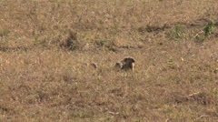 Banded Mongoose family hide in grass looking around 2 - stock footage
