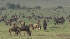 Black Wildebeast herd feed on grass plains on Masai Mara 3 Stock Footage