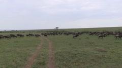 Black Wildebeest on drive through Masai Mara Stock Footage