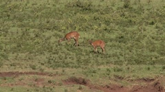Bushbuck female feeding on grassplains of Aberdare Stock Footage