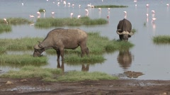 Stock Video Footage of Cape Buffalos feeding on grass with Lesser Flamingos feeding in water