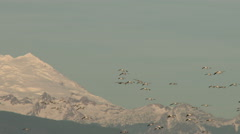 Geese, Snow Geese, Birds, Fly, Flight, Flying Stock Footage