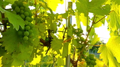 Ripe green organic grapes and grapevine leaves growing in vineyard Stock Footage