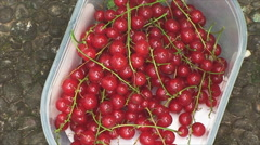 Harvesting red currants on the plot Stock Footage