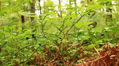Bilberry-bush with berries Stock Footage