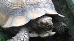 Big African spurred tortoise - stock footage