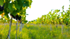 Ripe green organic grapes and grapevine leaves growing in vineyard, dolly - stock footage