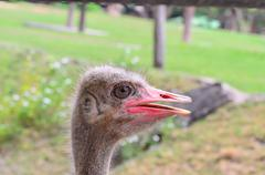 Close-up Head Shot of One Ostrich. Stock Photos