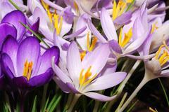 field of purple crocus flowers - stock photo