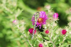 Dragonfly on a purple aster flower - stock photo