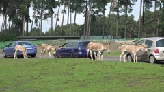 4k Onager donkeys feeded by tourists with car animal park Stock Footage