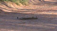 Cheeta resting in riverbed in the afternoon in Samburu 2 Stock Footage