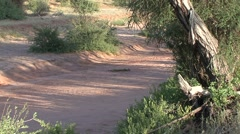 Cheeta resting in riverbed in the afternoon in Samburu 1 Stock Footage