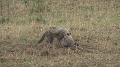 Cheetah babies cleaning each other 1 Stock Footage