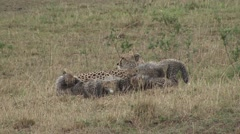 Cheetah babies cleaning each other 2 Stock Footage