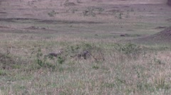 Cheetah babies playing on grass field in Masai Mara 1 Stock Footage
