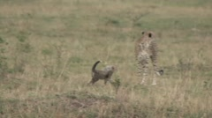 Cheetah baby jump on female Stock Footage