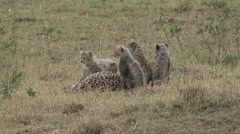Cheetah female and babies cleaning each other. Stock Footage