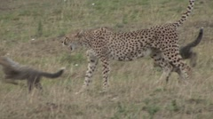 Cheetah female walk with babies on grass plains. Stock Footage