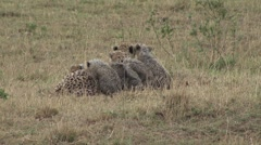 Cheetah female with babies on grass plains 4 Stock Footage