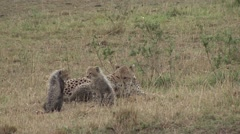 Cheetah female with babies on grass plains. Stock Footage